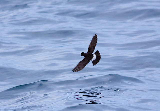 European Storm-petrel, Scilly Pelagic