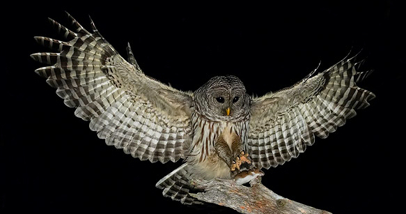 Hidden Experience Owls And Following The Shamanic Process