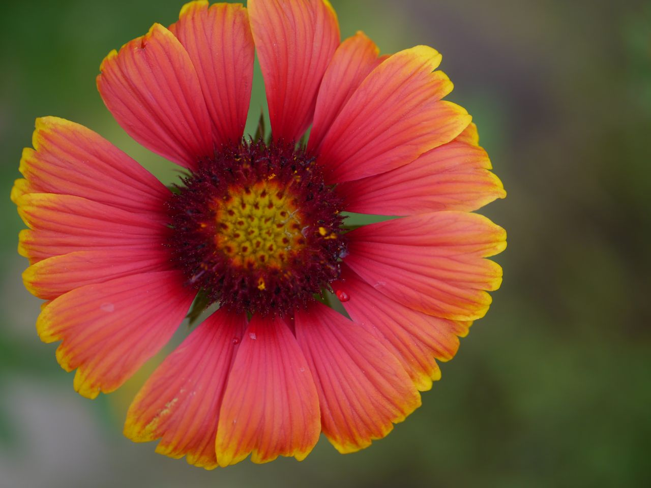 Rock rose the many faces of gaillardia a pale face with just the tips of the ray flowers yellow mightylinksfo