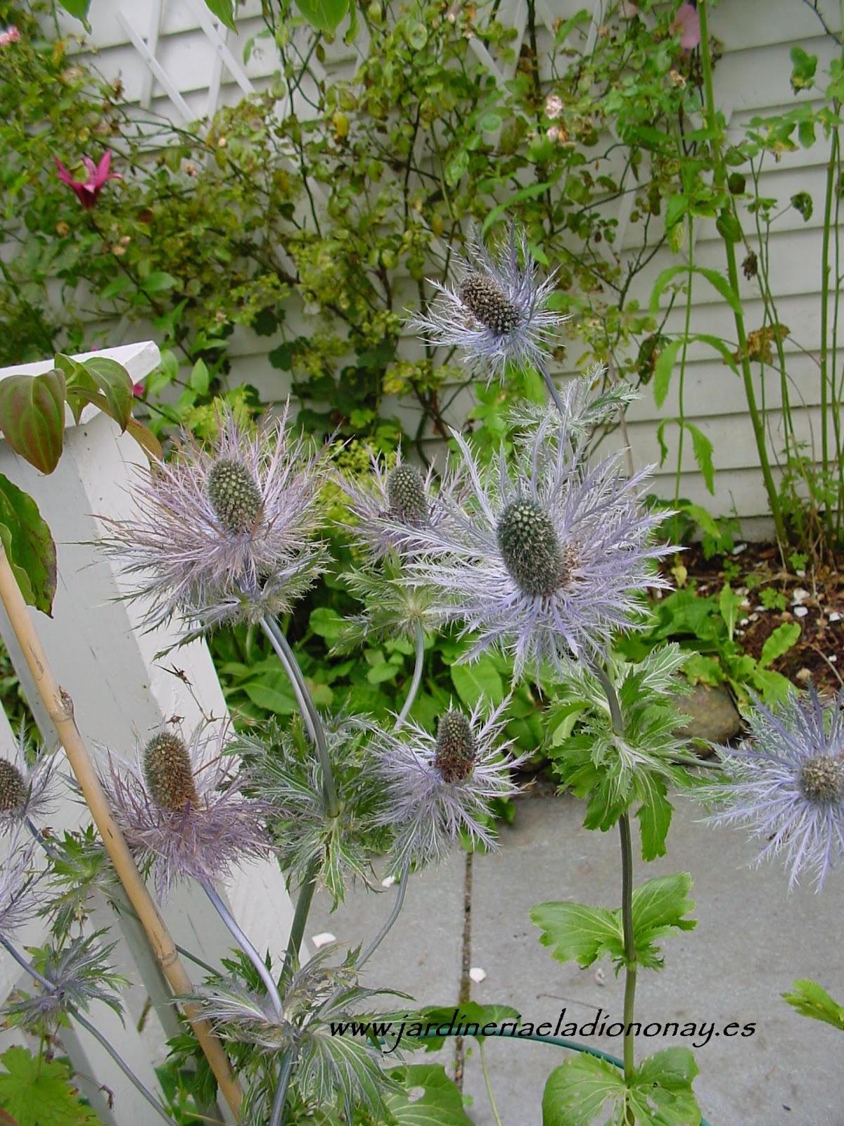 Jardineria eladio nonay eryngium alpinum jardiner a - Jardineria eladio nonay ...