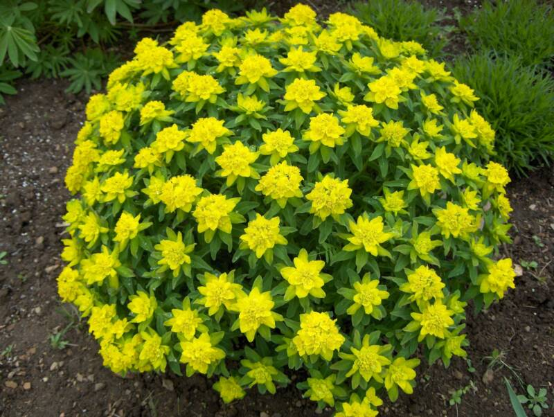 Deep roots garden design blog what is that 39 yellow 39 mound for Garden trees with yellow flowers