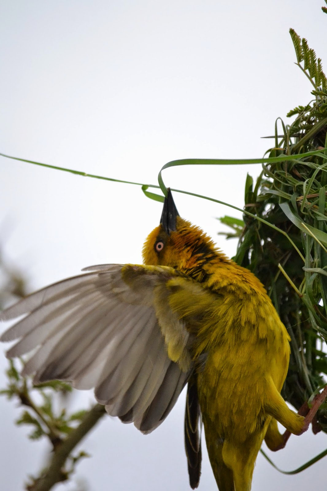 Cape Weaver weaving nest