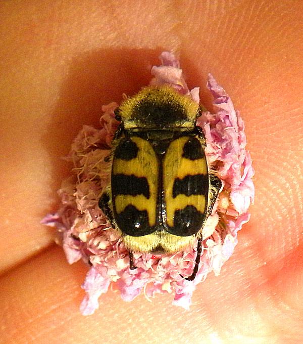 Cetoniidae | Insect Wiki | FANDOM powered by Wikia