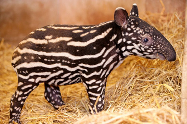 asian tapir of Predators