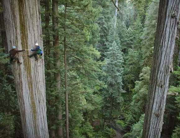 pohon raksasa redwood