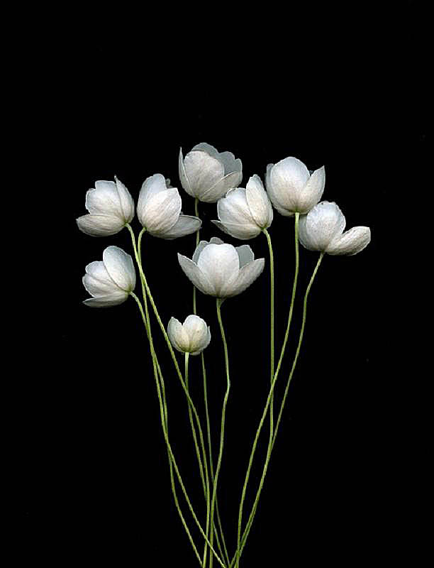 Anemone canadensis by Horticultural Art