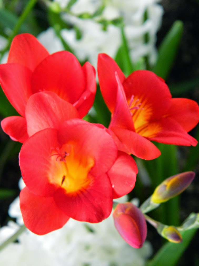 Centennial Park Conservatory 2015 Spring Flower Show red freesia  by garden muses-not another Toronto gardening blog