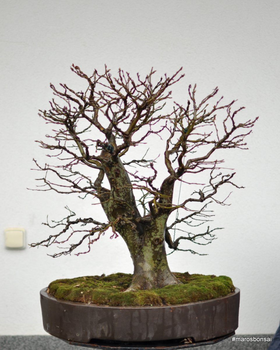 Maros Bonsai Blog Carpinus Betulus No10 QuotThe Rusnakquot