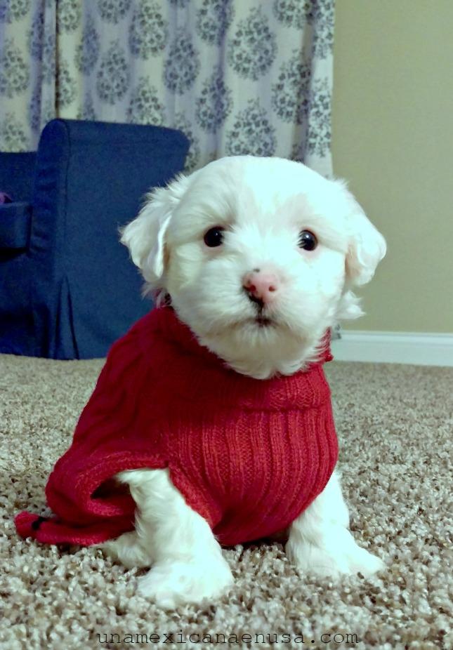 Cachorro de perro Maltés blanco con suéter rojo.