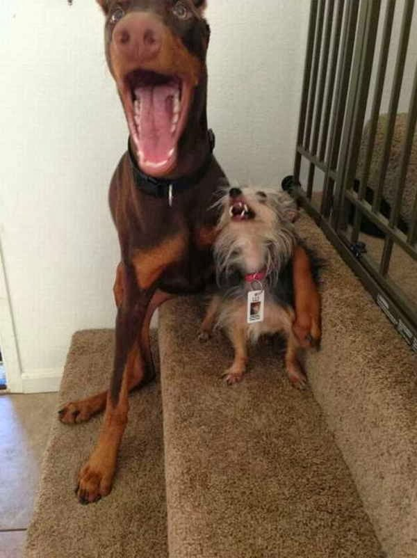 Funny animals of the week - 13 December 2013 (40 pics), two dogs pose for picture