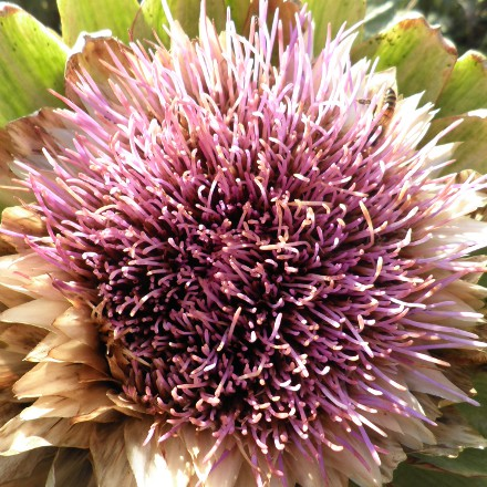 insect on artichoke flower