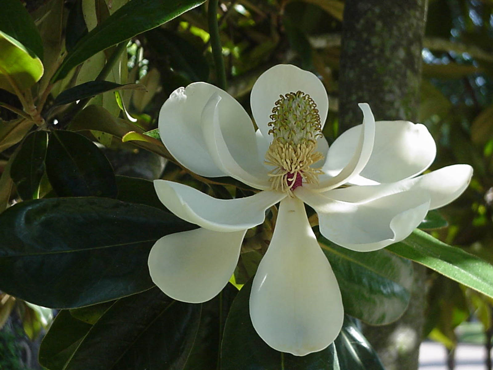 wallpapers magnolia blossom