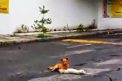 Anjing Ini Berusaha Menarik Temannya yang Tertabrak di Jalan