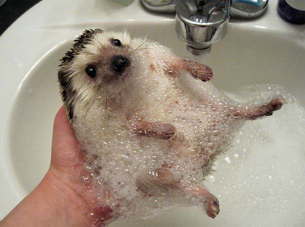This bathing hedgehog.