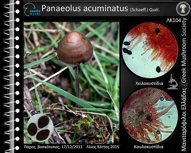Panaeolus acuminatus (Schaeff.) Quél.