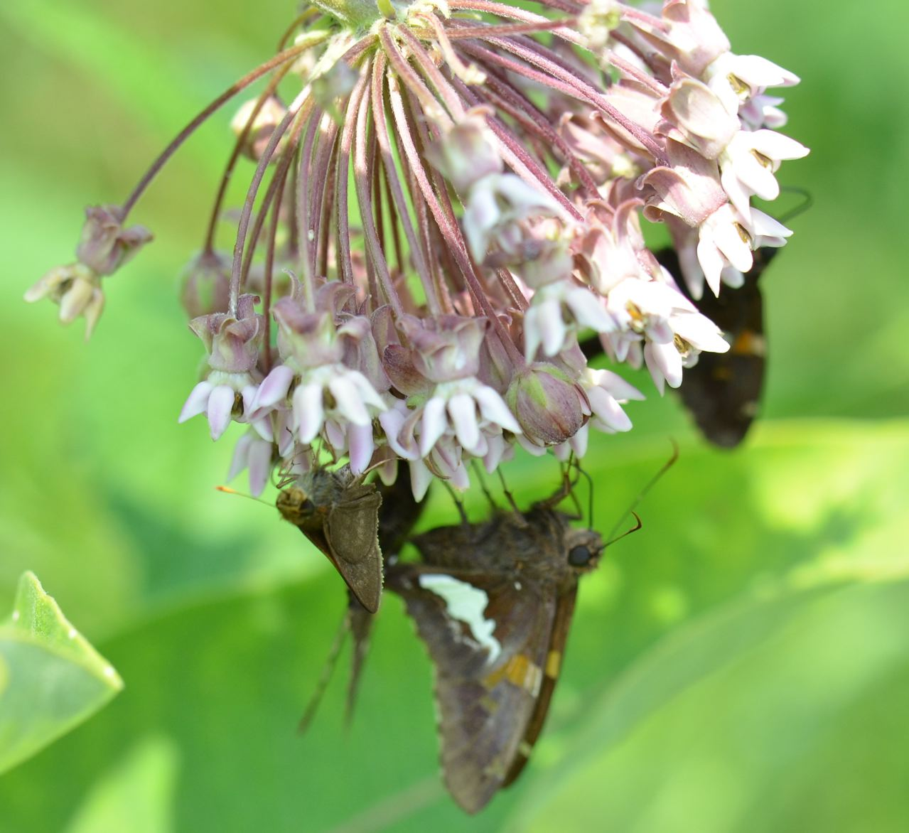 Flower Hill Farm Butterflies Of 2011 Favorite Skippers
