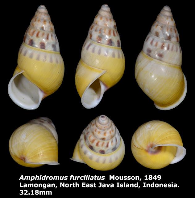 Amphidromus furcillatus 32.18mm
