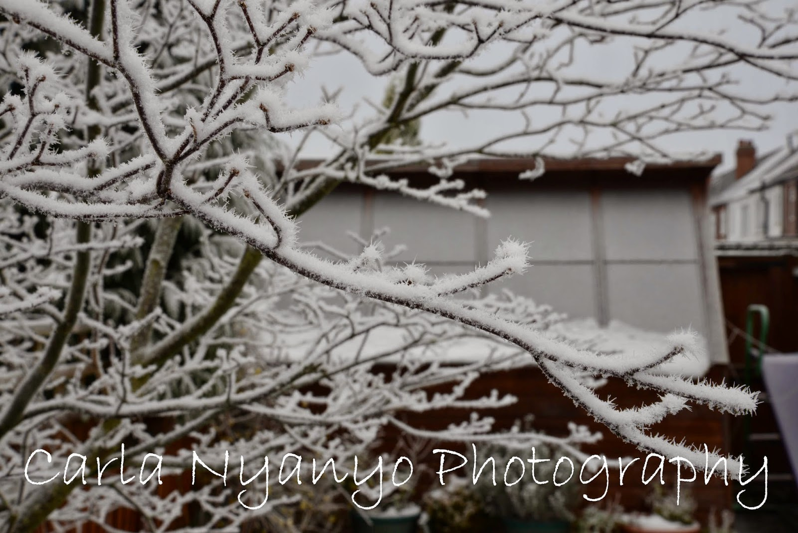 frosty branches 1