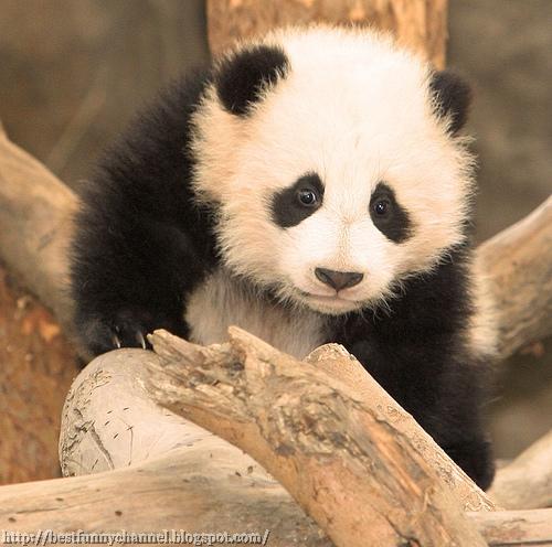panda bears pictures 28