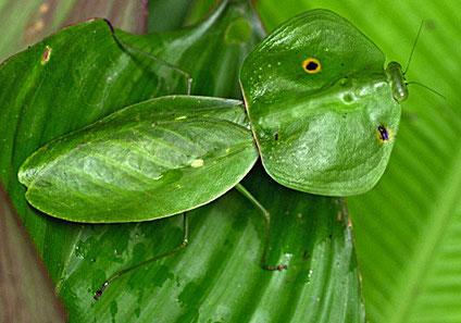 Incre bles insectos que parecen plantas universo animal - Plantas para ahuyentar insectos ...