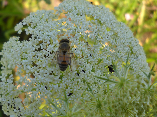 A honey bee visiting Queen Anne's Lace, White Rock Lake, Dallas, TX