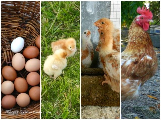 Huevos - Pollitos - Pollos - Gallina - Chacra Educativa Santa Lucía