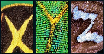 Huruf Alphabet Ditemukan Di Sayap Kupu-Kupu