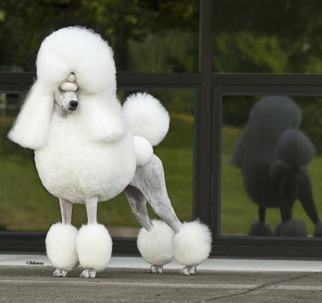 National Dog Show Poodle