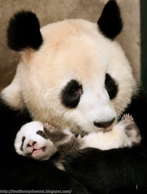 Panda panda mother and baby.