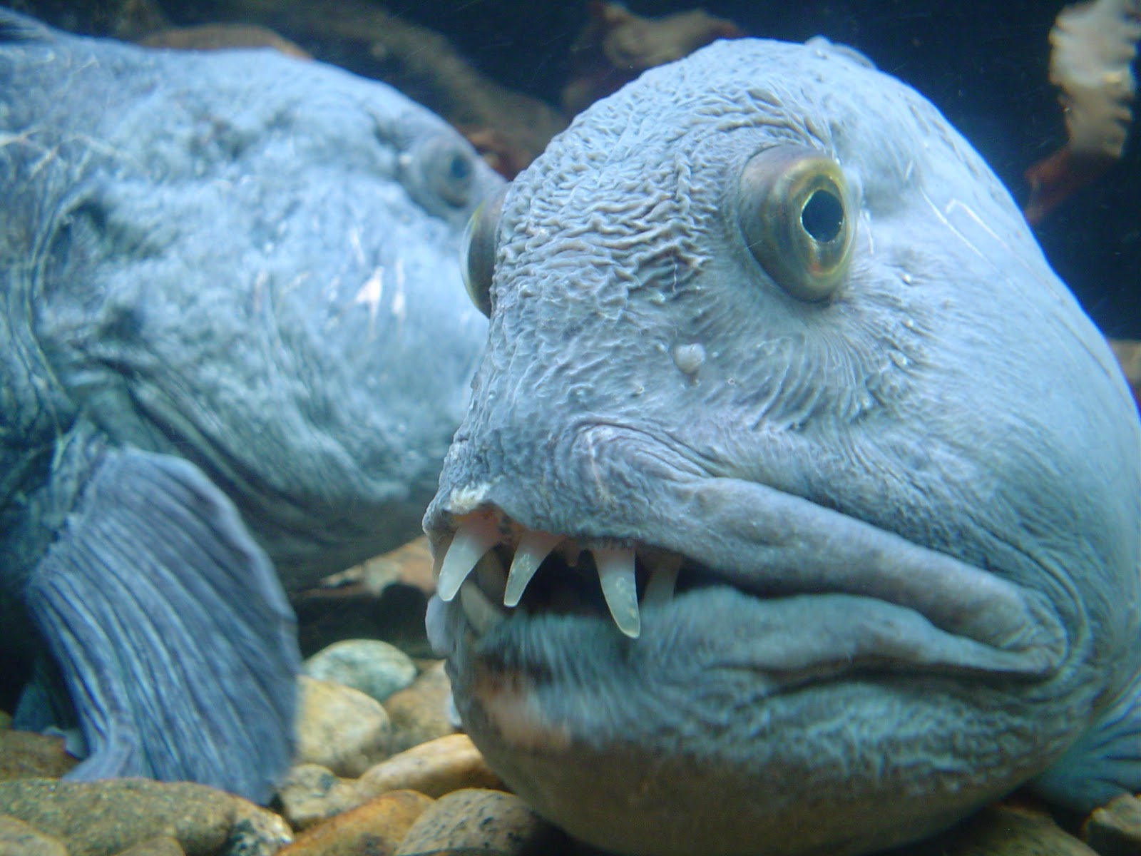 Real monstrosities wolffish and wolf eel for Freshwater wolf fish
