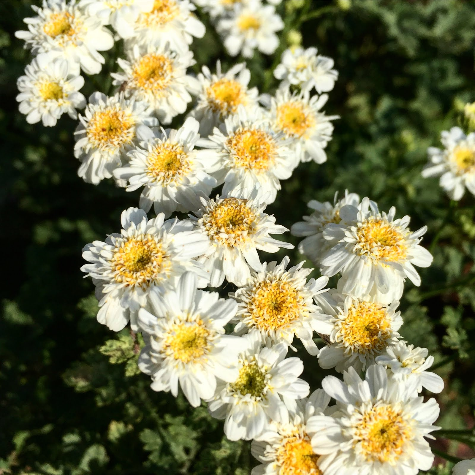 Aprilles socal gardening double feverfew tanacetum parthenium is a perennial herb that has been used as a fever reducer and headache remedy it has single daisy flowers and i izmirmasajfo Image collections