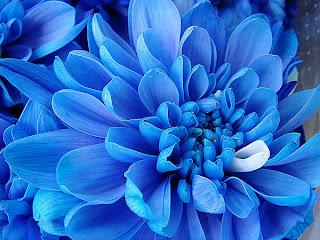 flor azul exotica