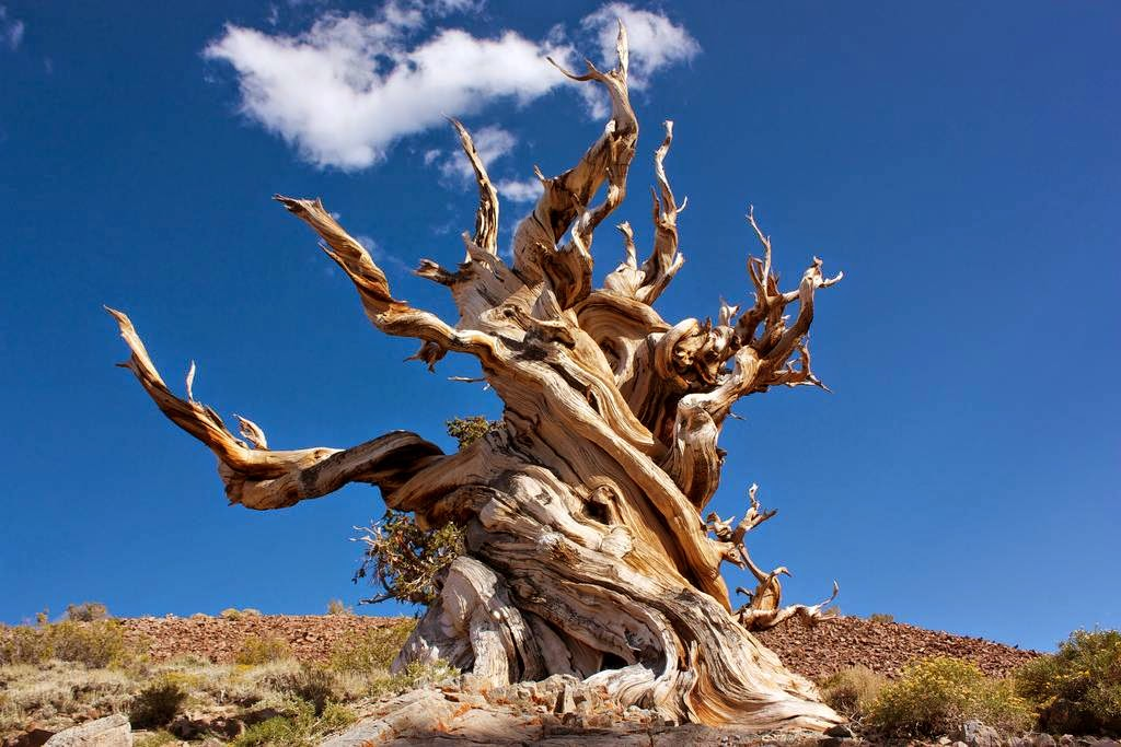 The Bristlecone Pine Twisted Contortions Of The Ancients Kuriositas