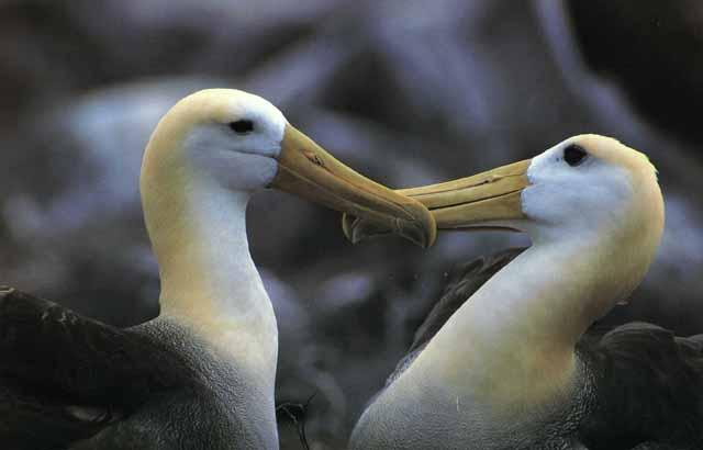 Galapagske albatrosy