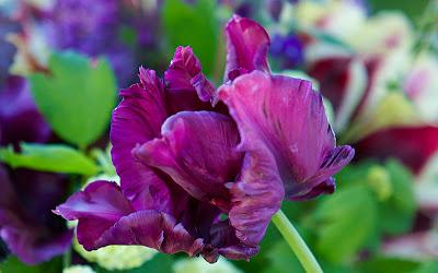 tulipan Muriel
