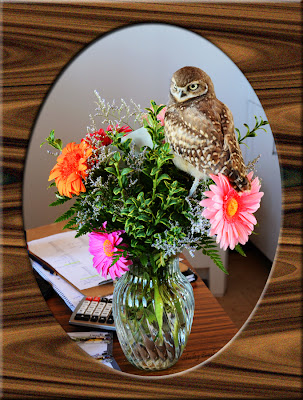 Live Burrowing Owl perches in florist's arrangement - photo by Shelley Banks