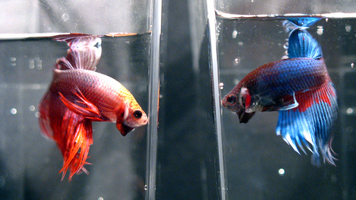 July 2012 rocky betta for Can betta fish live with other fish