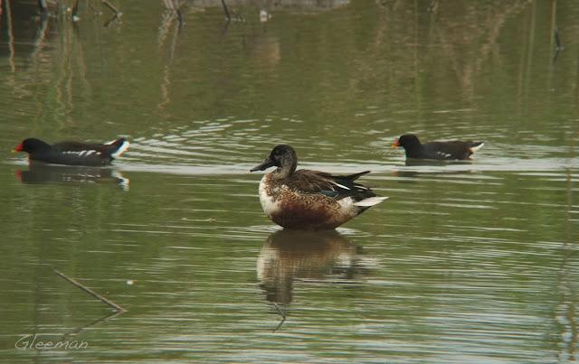 琵嘴鴨,關渡自然公園