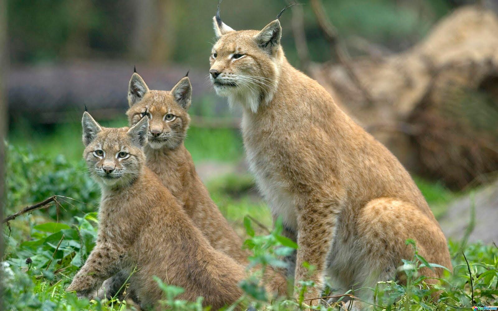 lynx forest jungle animal - photo #21