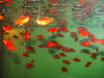 Akvaryum moli balığı yaşamı