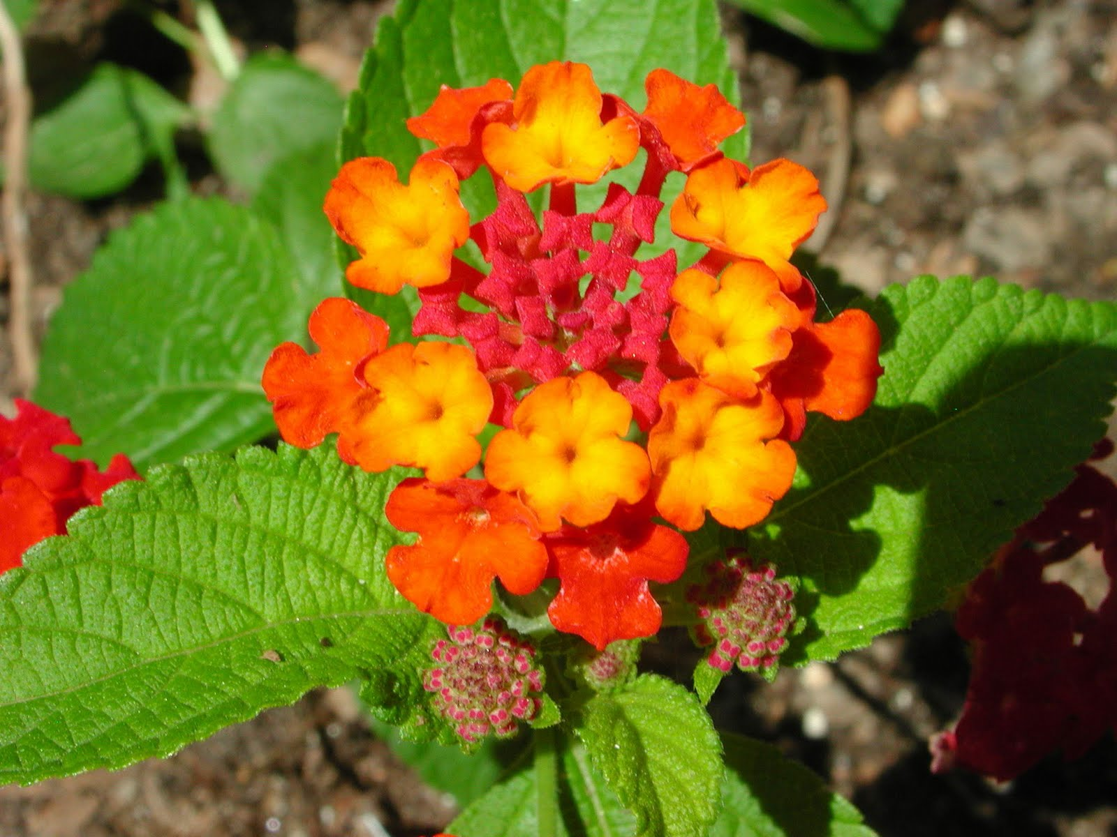 Flower Picture: Lantana Flower Picture