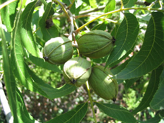 health benefits of pecan nut