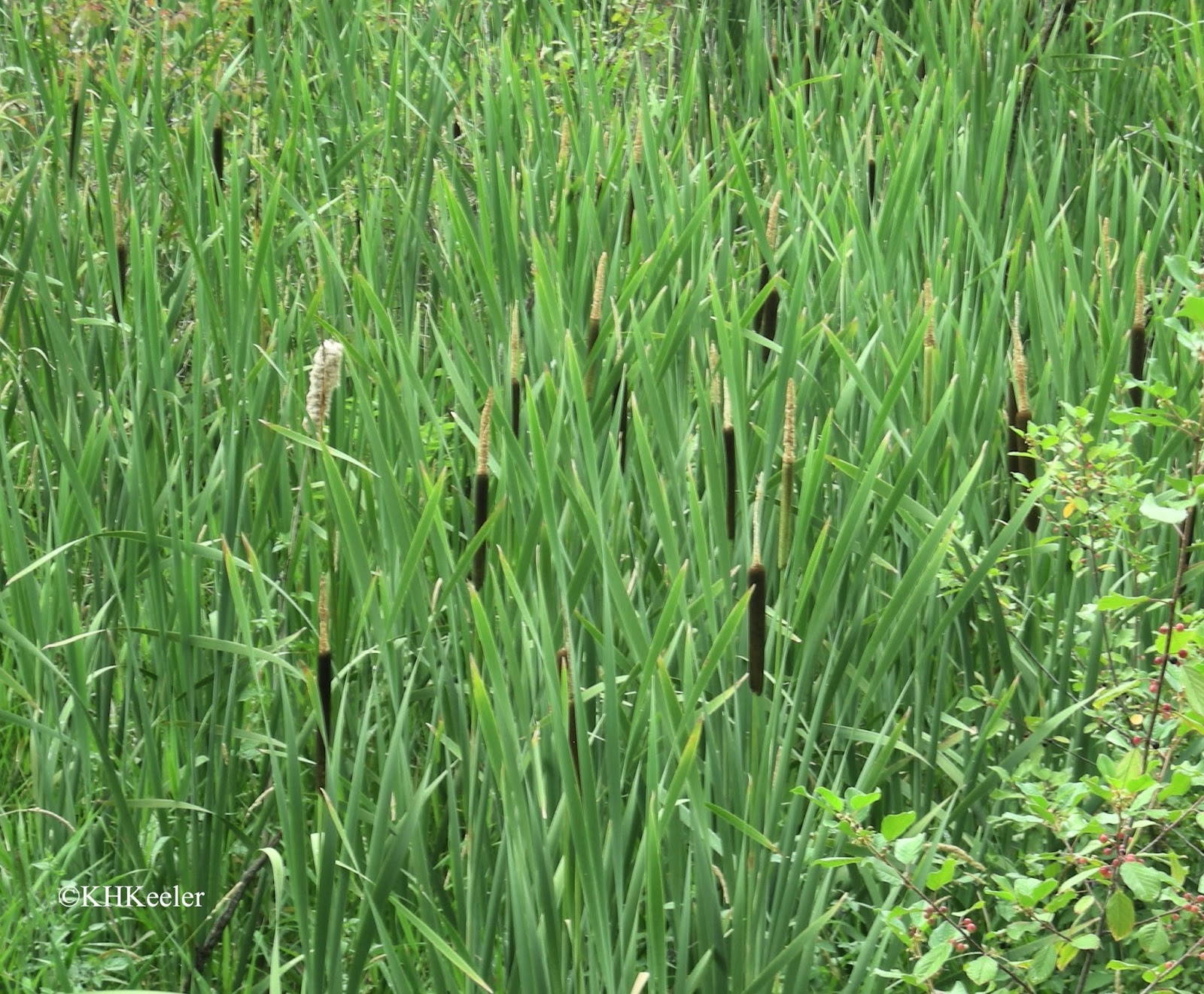 cattails in marsh