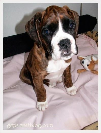 Boxerbaby Amy 8 Wochen alt