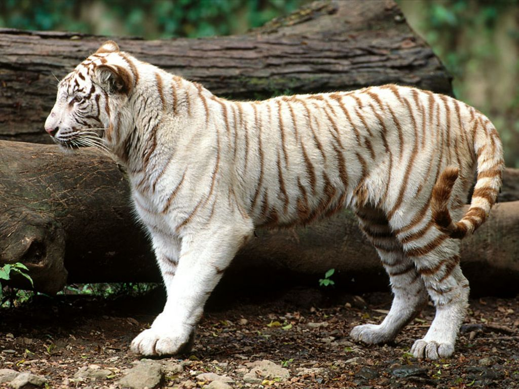 white tiger animal wallpaper - photo #9