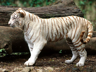 baby white tiger wallpaper