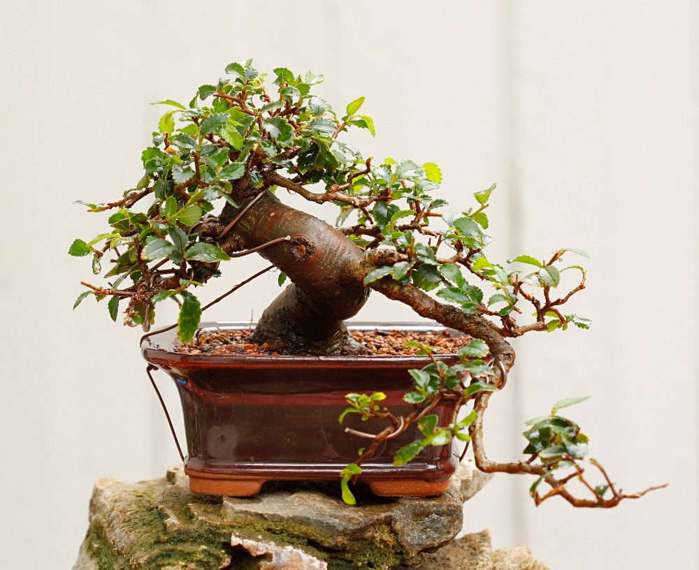 Janin Bonsait Overwintering Bonsai In Finland