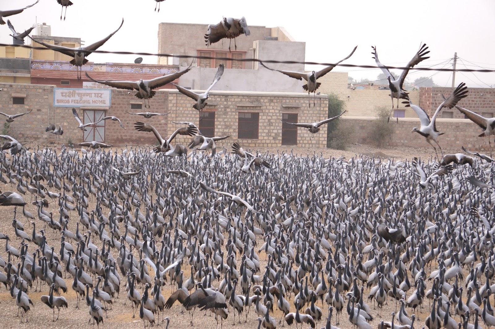The demoiselle cranes of kichan madras ramblings for Kichan photo