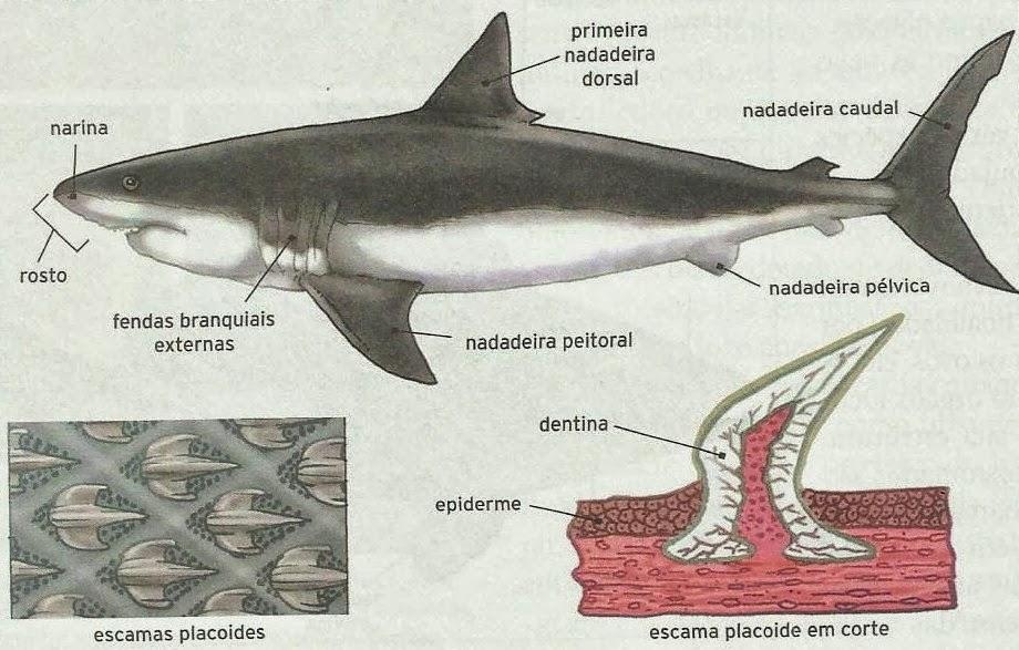 Fantástico Anatomía Interna Bagre Galería - Anatomía de Las ...