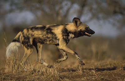 Hewan Hewan yang Larinya Tercepat di Dunia
